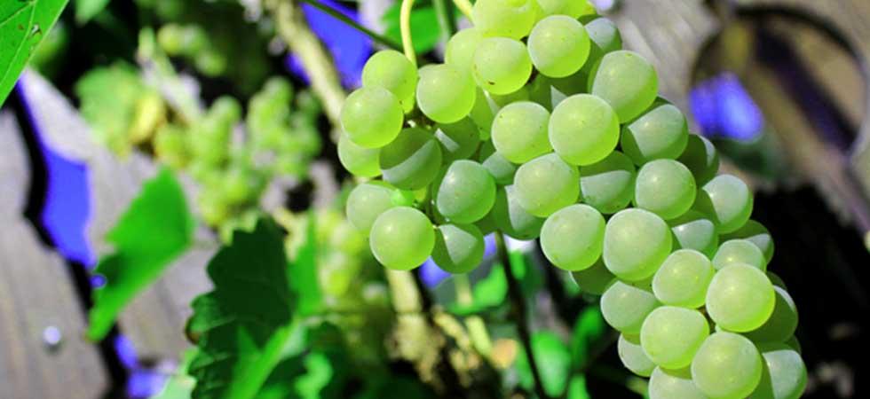 Natur, Trauben und Wein